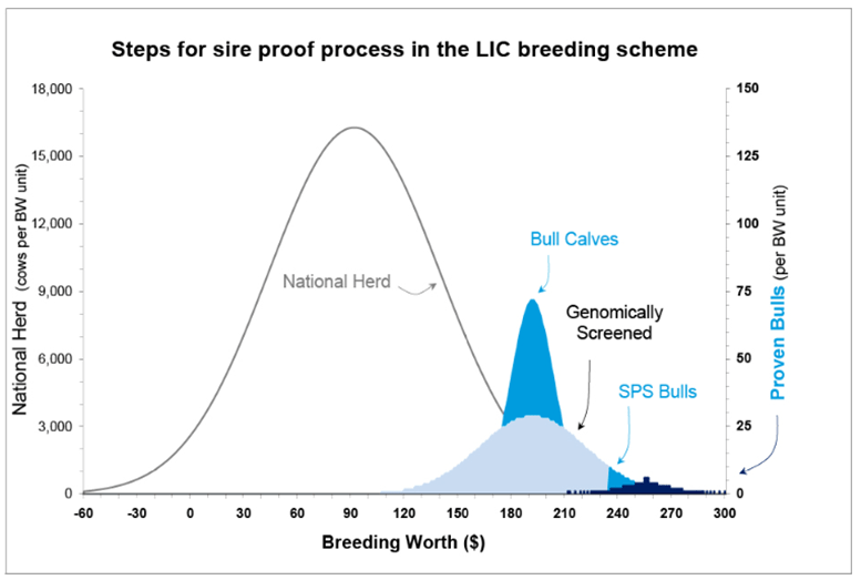 Graph showing steps for sire proof process in the LIC breeding scheme